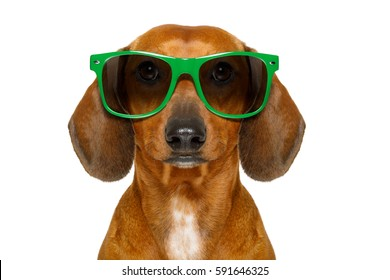 dumb nerd silly dachshund sausage dog wearing funny green sunglasses , isolated on white background