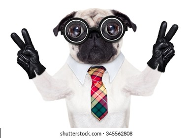 dumb  pug dog with nerd glasses with pencil in mouth   isolated on white background