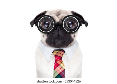 dumb pug dog with nerd glasses as boss,or office worker , isolated on white background