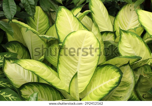 "Dumbcane's bright white green leaves(Dieffenbachia maculata cv ""Tropic Marianne"")"