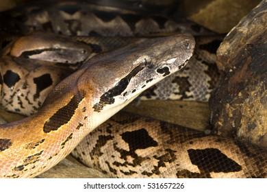 Dumeril's Ground Boa, Acrantophis dumerili, is the second largest snake in Madagascar