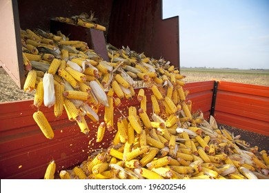Dumping the corn cobs to tractor trailer during harvest