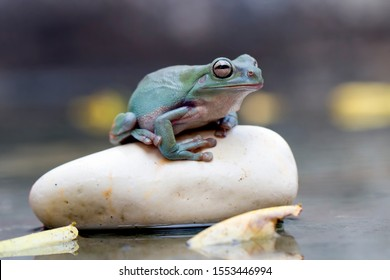 dumpy frog, green tree frog, papua green tree frog is waiting for rain