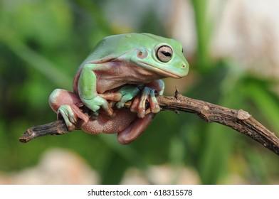 dumpy frog, tree frog, frogs,