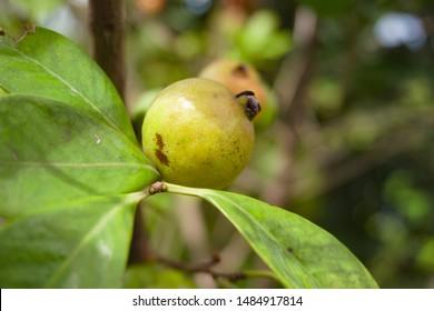 Dumur or (Dumur in Bangla Ficus carica) Hairy fig, ficus hispida, Cluster fig tree - Flora of Bangladesh
