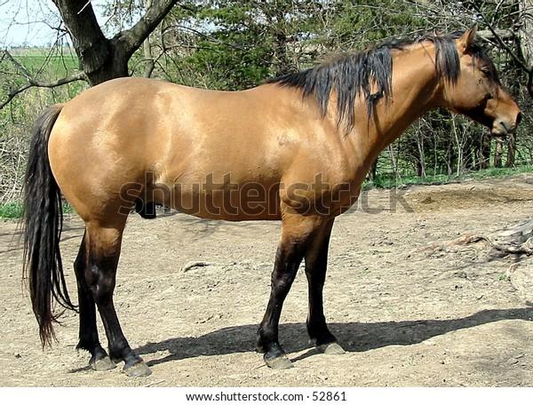 Dun Quarter Horse Stallion
