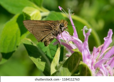 A Dun Skipper Butterfly is collecting nectar from a purple Wild bergamot flower. Todmorden Mills Park, Toronto, Ontario, Canada.