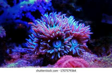 Duncanopsammia is a large polyp stony (LPS) coral - Duncanopsammia axifuga
