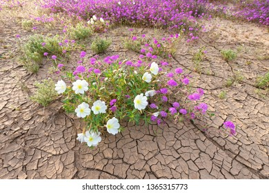 Dune Evening Primrose and Sand Verbena blooming on desert floor