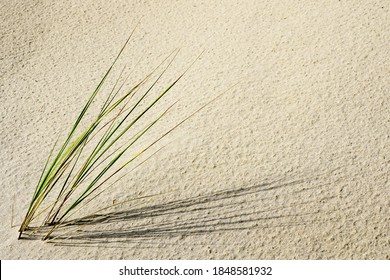 dune with fresh lyme grass in the sand on a beach by the baltic sea