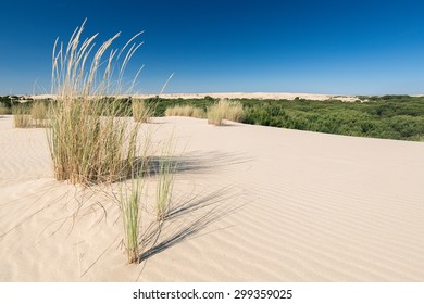 Dune grass in national park Donana in Andalusia, Spain