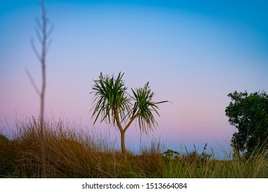 Dune landscape at dawn with three species of beach vegetation of ficina and the New Zealand cabbage tree standing out with pohutukawa tree on right  against morning sky.