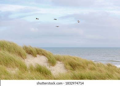 The dunes at Dutch north sea coastline with european marram grass (beach grass) in summer, A group white and grey seagulls birds flying in the air with blue clear sky, Noord Holland, Netherlands.