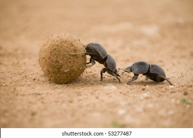 Dung Beetle in Addo Elephant Park