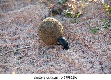 Elephant Beetle Images, Stock Photos & Vectors | Shutterstock