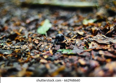 Dung beetle on forest floor besides a green leaf