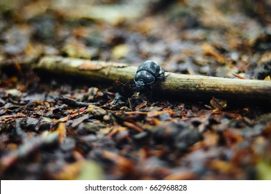 Dung beetle on a small branch