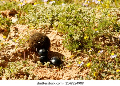 Dung beetle pushing a ball of dung across the flowers in the field