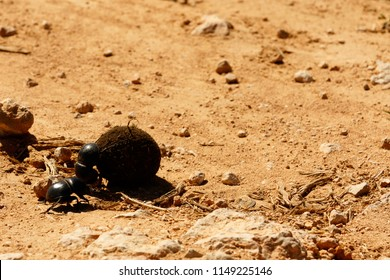 Dung beetle pushing a ball of dung across the gravel road