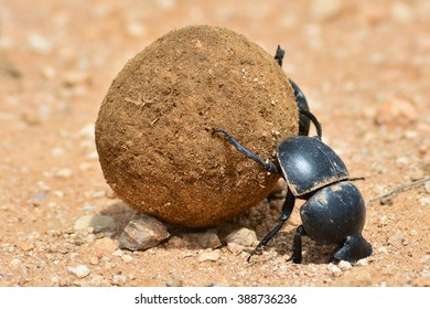 Dung beetle rolling a dung ball