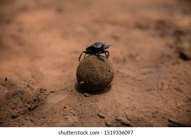 Dung Beetle In Sand Up Close