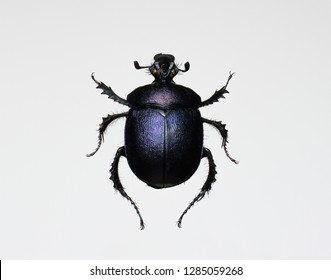 Dung beetle Trypocopris vernalis - blue black form, Set of realistic colorful tropical insect, zoology,wild ,entomology, one alive exotic butterfly with beautiful wing collection ,insect animal stuff