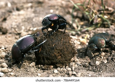 Dung beetles with dung ball