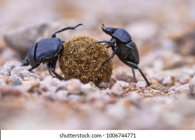 dung beetles solving problems while making an  effort to roll a ball through gravel