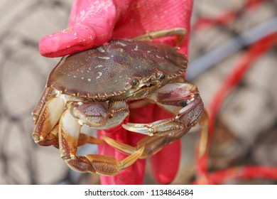 A dungeness crab, Metacarcinus magister, being held by a gloved hand in Seaside, Oregon.