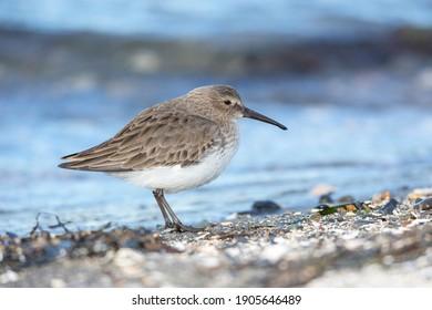 Dunlin bird on beach at British Columbia Canada; north american