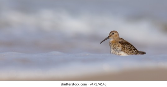 Dunlin - Calidris alpina, on autumn migration way, Curonian Spit, Lithuania