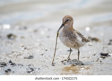 Dunlin (Calidris alpina) pulling out a worm out of the mud