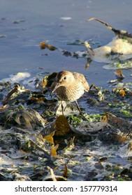 Dunlin feeding on the shoreline