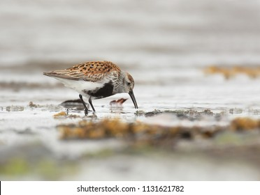 Dunlin on sea coast