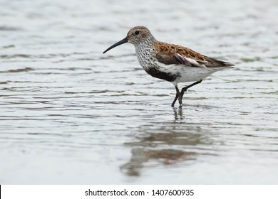 Dunlin standing in the shallow water. Ashbridges Bay Park, Toronto, Ontario, Canada.