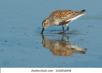Dunlin standing in the shallow water probing the mud beneath looking for a meal. Ashbridges Bay Park, Toronto, Ontario, Canada.
