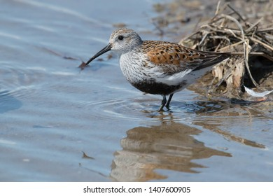 Dunlin standing in some shallow water. Ashbridges Bay Park, Toronto, Ontario, Canada.
