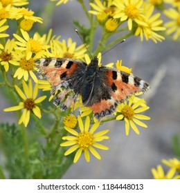 Dunnington York July 6th 2018 Small tortoiseshell butterfly with worn wings on a ragwort flowers