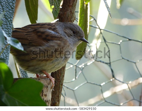 Dunnock Bird on Tree Stump with Ivy and Fence - Prunella modularis