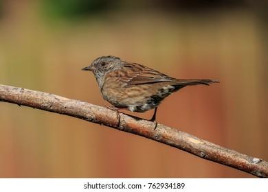 A Dunnock or Hedge Sparrow