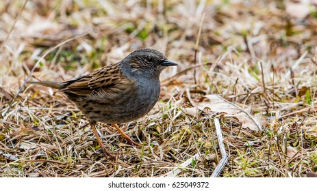 The dunnock (Prunella modularis) is a small passerine bird here searching for food in the early spring grass.