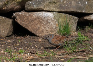 Dunnock searching for food in a English garden