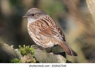 The dunnock is a small brown and grey bird Read more at https://www.rspb.org.uk/birds-and-wildlife/wildlife-guides/bird-a-z/dunnock/