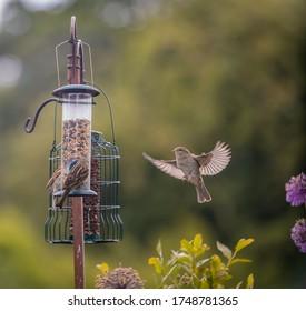 Dunnock Sparrow in flight at feeding time
