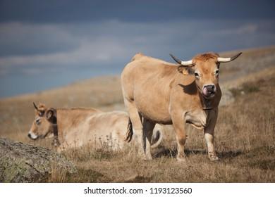 Duo de vache Aubrac