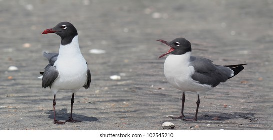 A duo of Laughing Gulls seemingly doing a stand-up routine on the beach