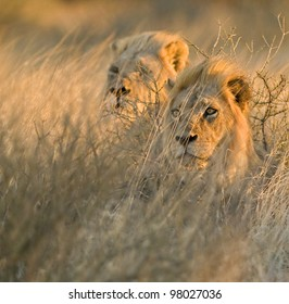Duo of Lions II