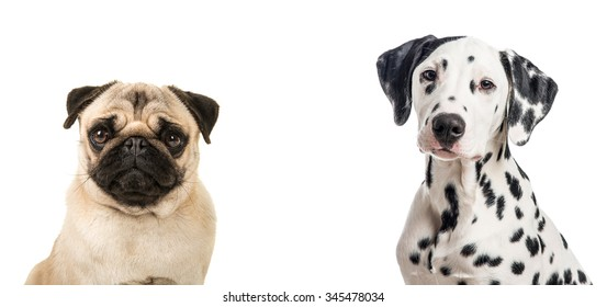 Duo portrait of a dalmatian and a pug dog isolated on a white background
