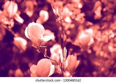 Duotone effect coral and ultraviolet for toning photos with flowers. concept