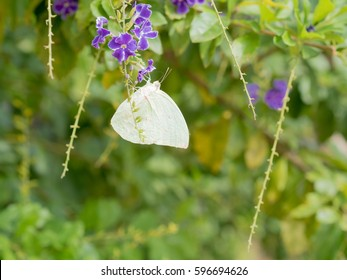 Duranta erecta L., Golden dewdrop, Pigeon berry, Sky flower with white butterfly